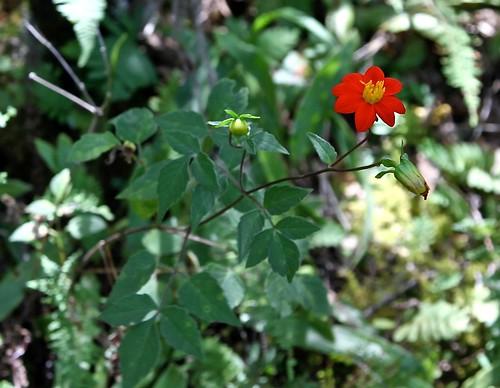 Dahlia coccinea (Asteraceae)