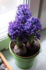 Hyacinthus I