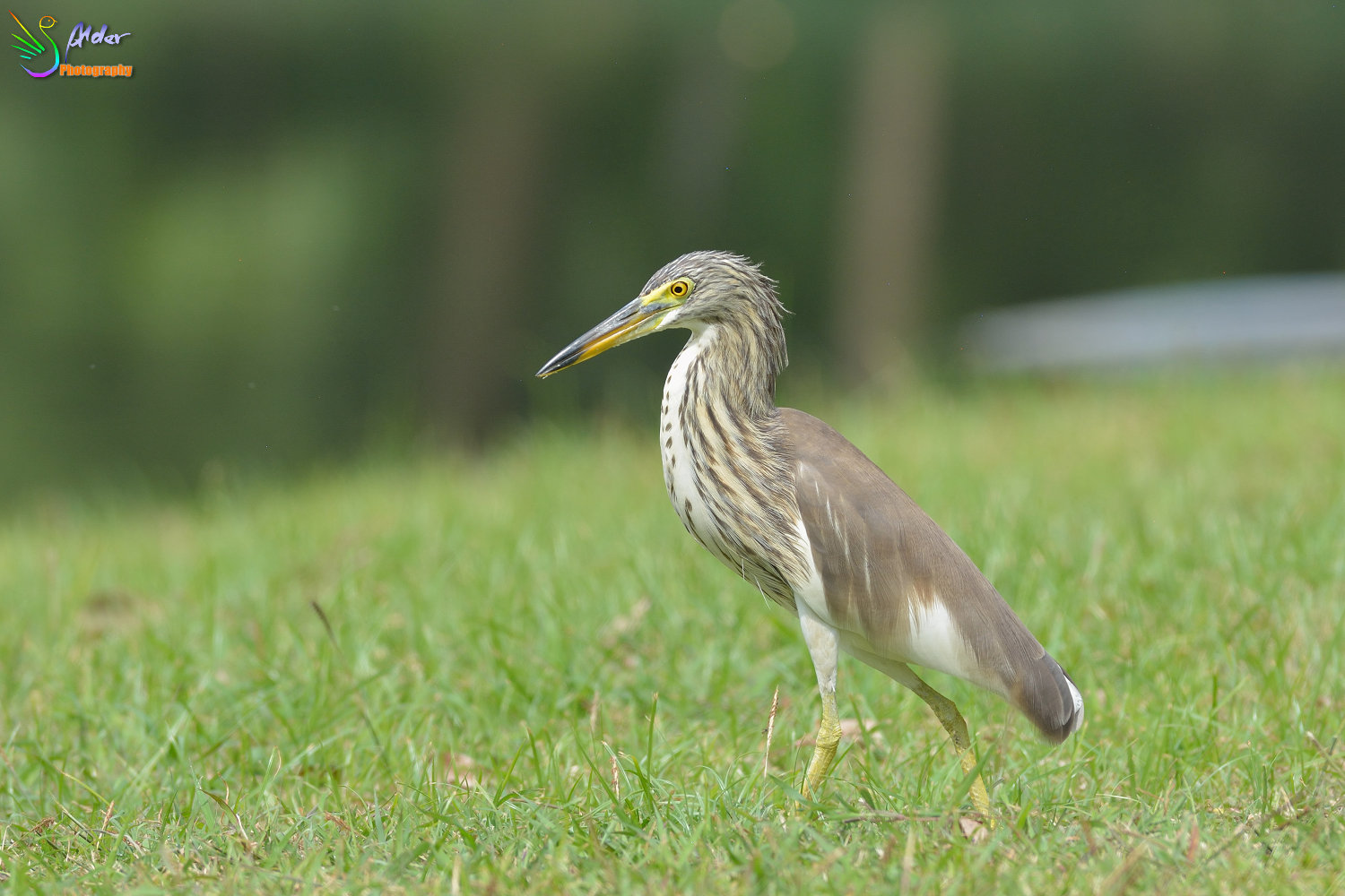 Chinese_Pond_Heron_1416
