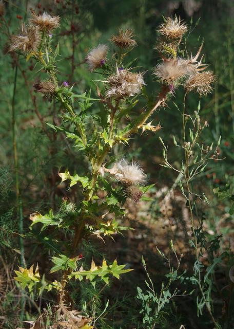 Carduus? and Lactuca serriola, Hay, NSW, 14/02/16