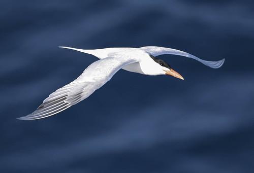 Sea Bird 4