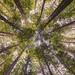 Californian Redwoods Warburton 2016-04-09 (6D_1184) by ajhaysom