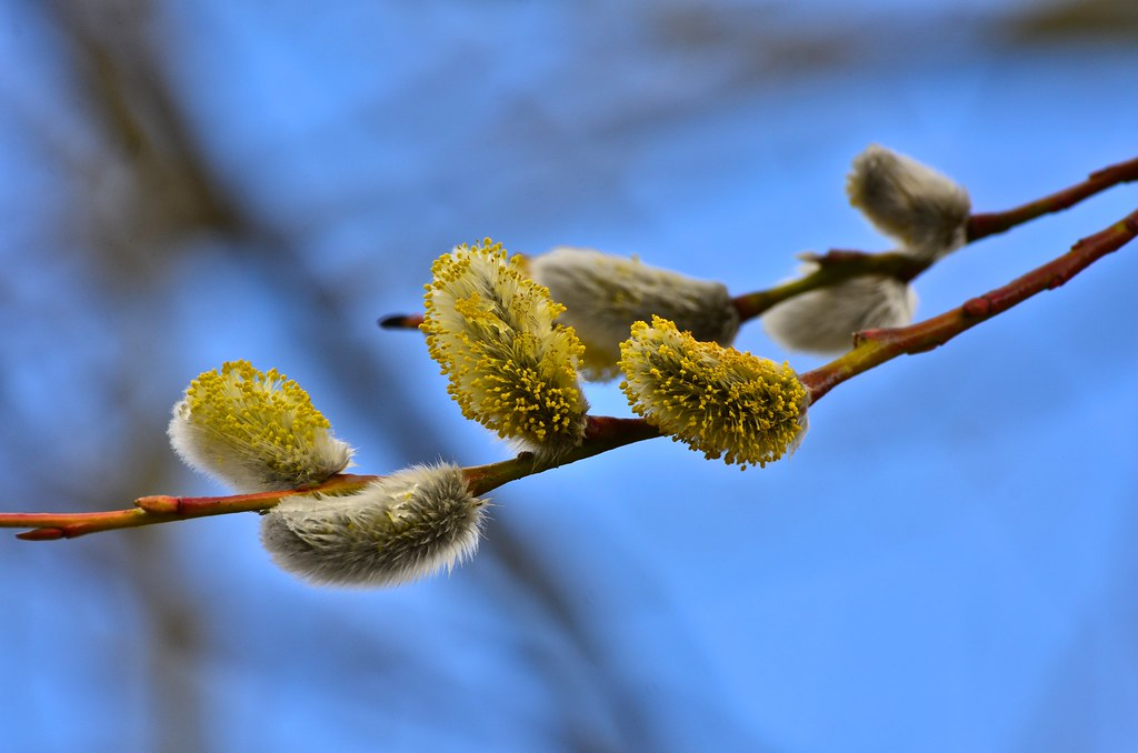 #22/100 Flowering Willow