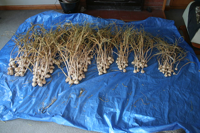 Garlic, Takahue - 2016-03-05 - 01 - Ready for processing