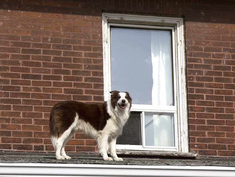 roof dog sweetie