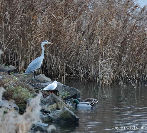 Héron cendré Ardea cinerea - Grey Heron : Michel NOËL © 2015-.jpg