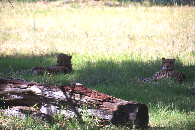 Cheetahs in the shade