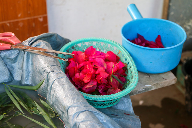 Bougainvillea flower petals for handmade paper, Ban Xang Khong village near Luang Prabang, laos ルアンパバーン近くのバーンサーンコーン村、手すき紙用の花びら