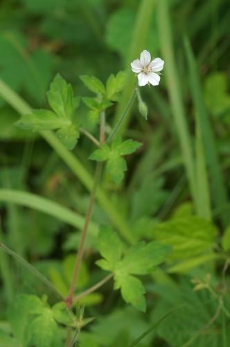 ゲンノショウコ/Geranium thunbergii