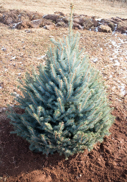 Planting Our Christmas Tree_10