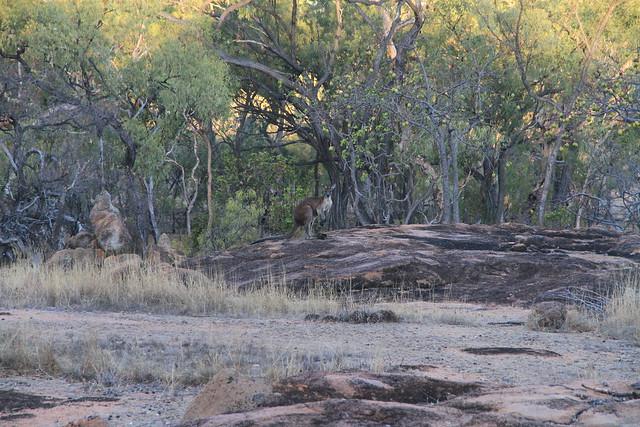 Common Wallaroo-澳洲昆士蘭Undara Experience-20141116-賴鵬智攝