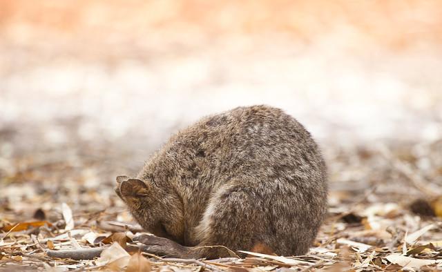 Sleeping endangered Quokka in the wild, Rottnest Island, Western Australia