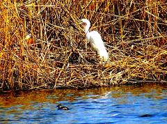 New York City Birds. Great Egret and Horned Grebe