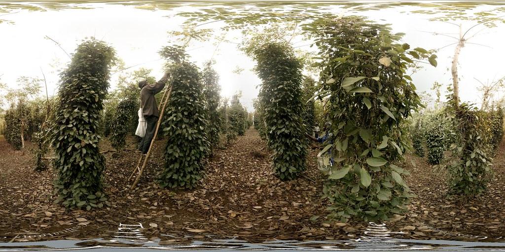 Récolte poivre de Penja