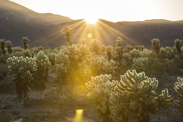 Sunset at Cholla Cactus Garden by Joshua Tree National Park