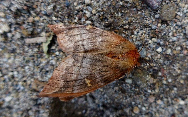 Nothofagus moth