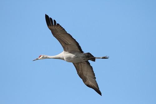bird nature canon wildlife washingtonstate sandhillcranes gruscanadensis tamronsp150600mmf563divcusd