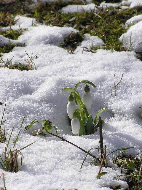 Galanthus elwesii 'Pat Mason'