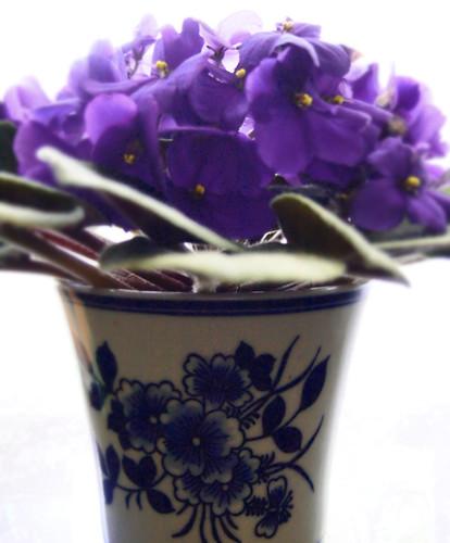 Mom's violet blooms (05)