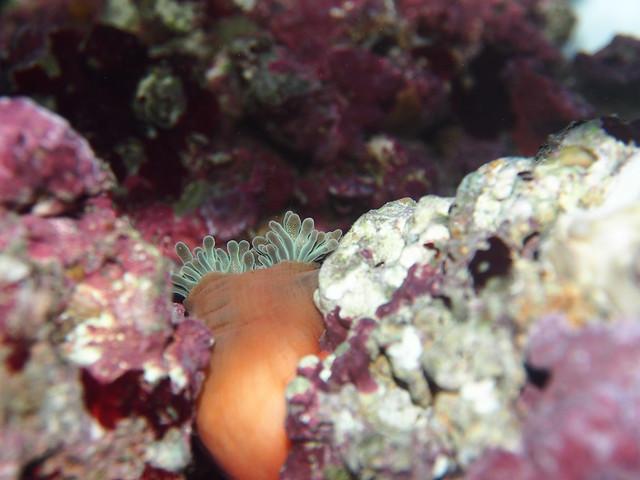 P4032627 綠奶嘴海葵