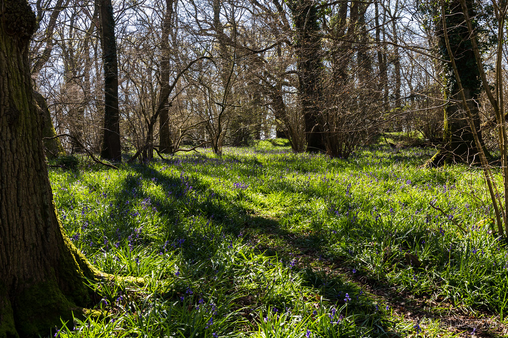 Shadow and light in the bluebell woods