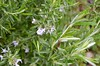 Rosemary flowers (5)