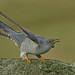 Cuckoo by MOZBOZ1