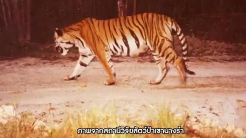 เสือโคร่ง