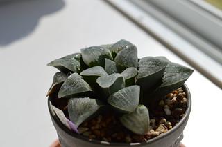 DSC_0532 Haworthia pygmaea f. variegata  ハオルチア ピグマエア
