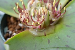 DSC_2382 Massonia latifolia マッソニア ラティフォリア