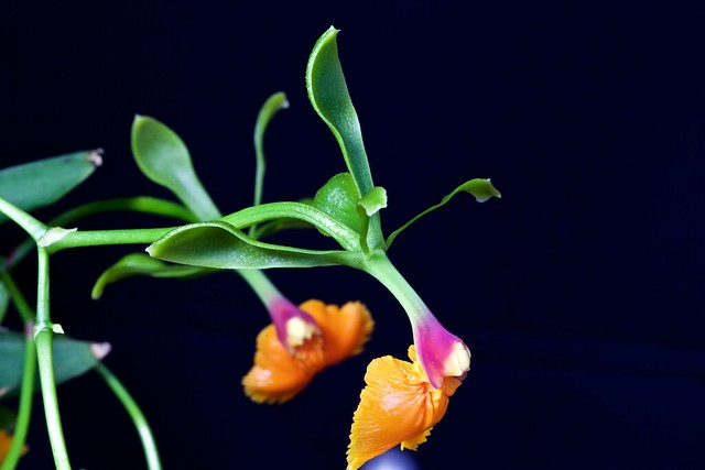 Epidendrum pseudepidendrum 24358478829_59c210bf0e_z