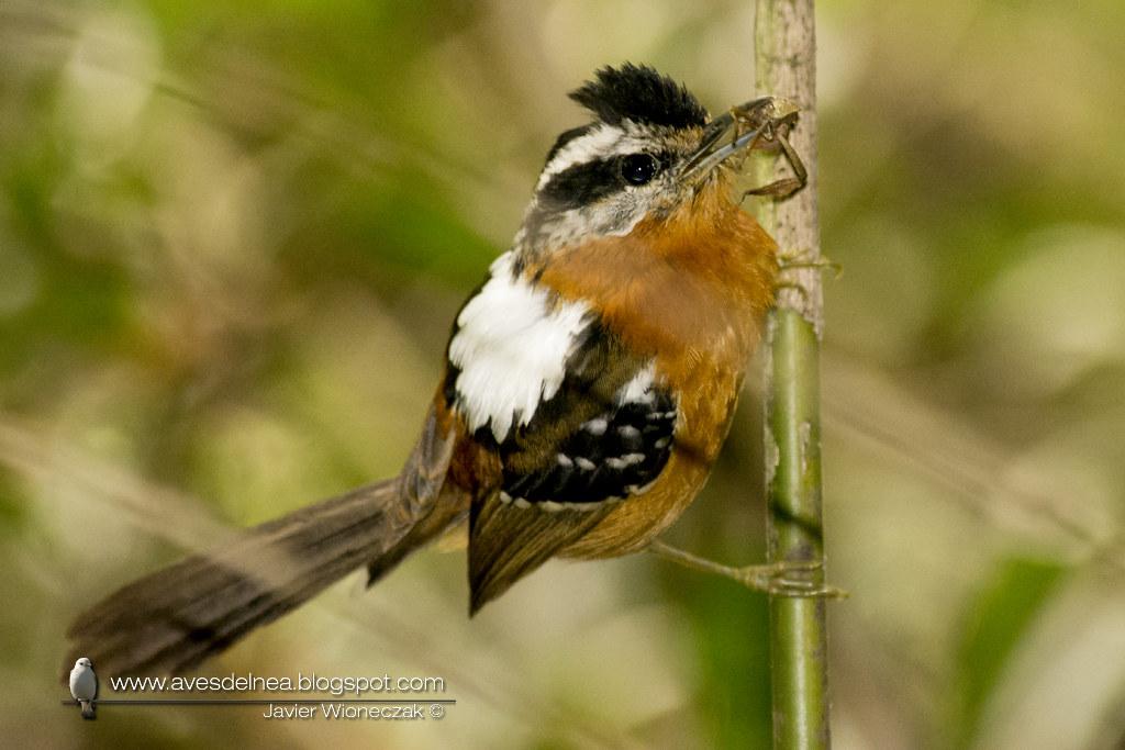 Tiluchi colorado (Bertoni´s Antbird) Drymophila rubricollis