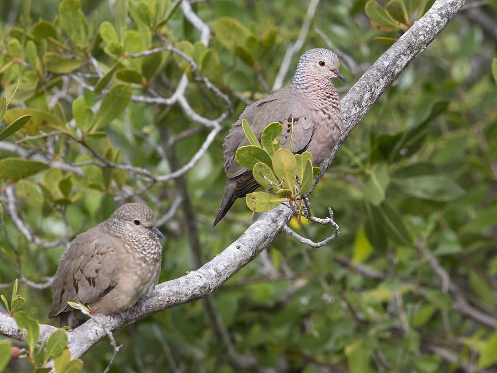 Common Ground Dove  Cuba