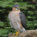 Sparrowhawk by Steve Lane - Birds and stuff