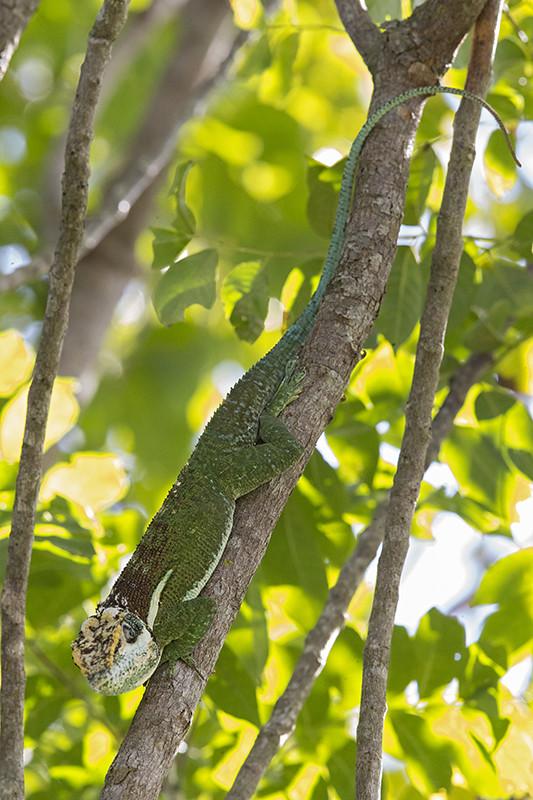Tree Lizard   Cuba