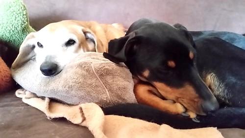 Rainy Day Blues #seniordog #puppy #rescueddogs #Doberman #adoptdontshop #houndmix #LapdogCreations ©LapdogCreations