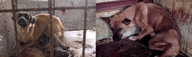 South Korea's Shocking Cruelty - Dog Meat Industry