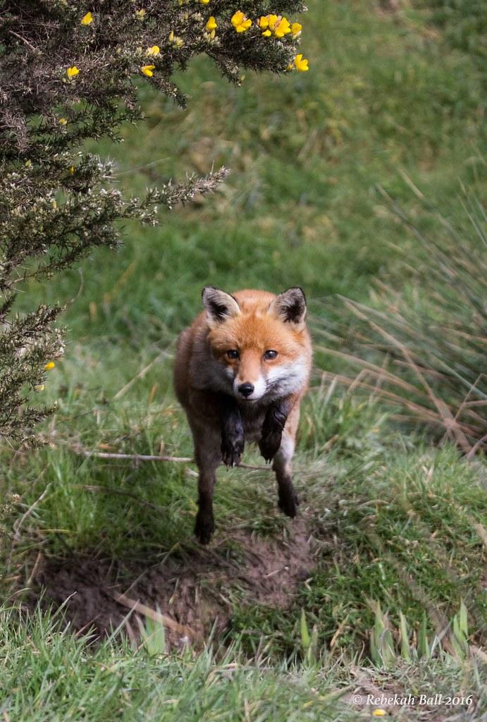 Red Fox (captive)
