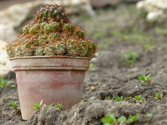 Kaktusz 1