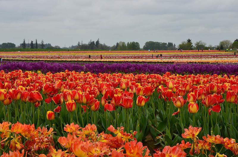 wooden-shoe-tulip-festival-9