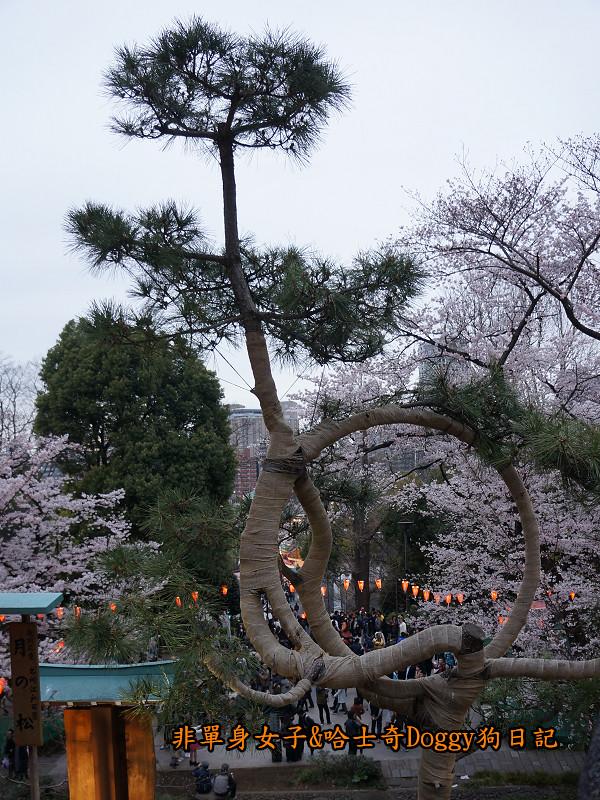 日本東京上野恩賜公園櫻花08