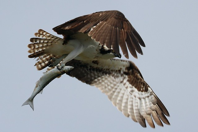 Pandion haliaetus Osprey