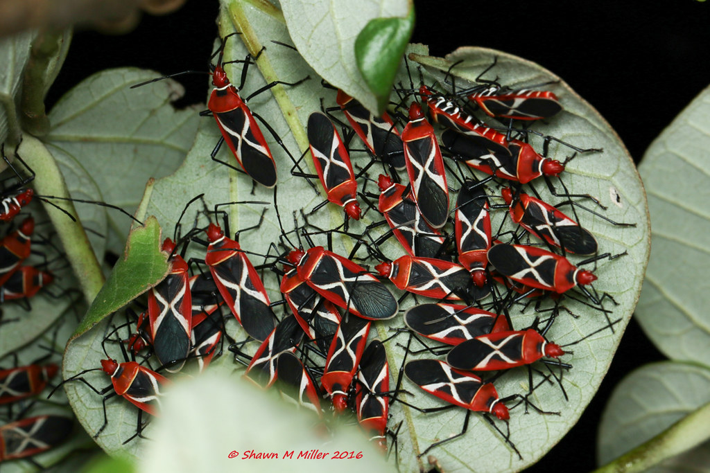 Cotton stainer bugs - Ogimi, Okinawa