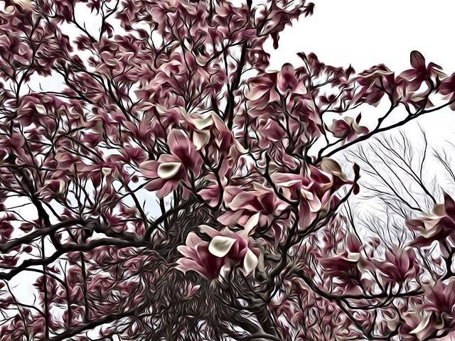 Magnolia #magnolias #magnoliatrees #trees #spring
