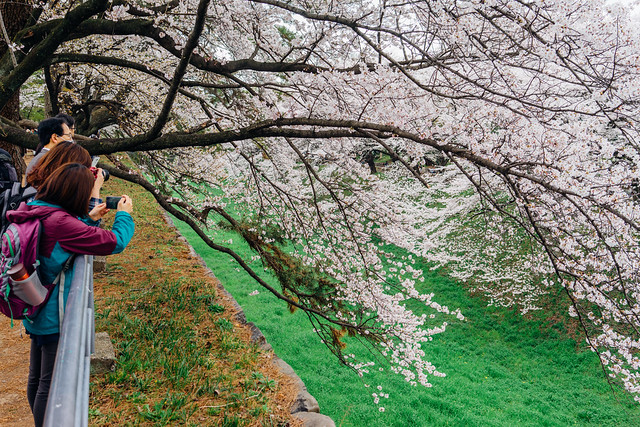 CherryBlossoms_156