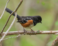 Spotted Towhee (Pipilo maculatus)