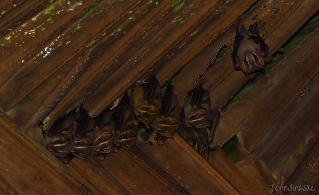 Common Tent-making Bats