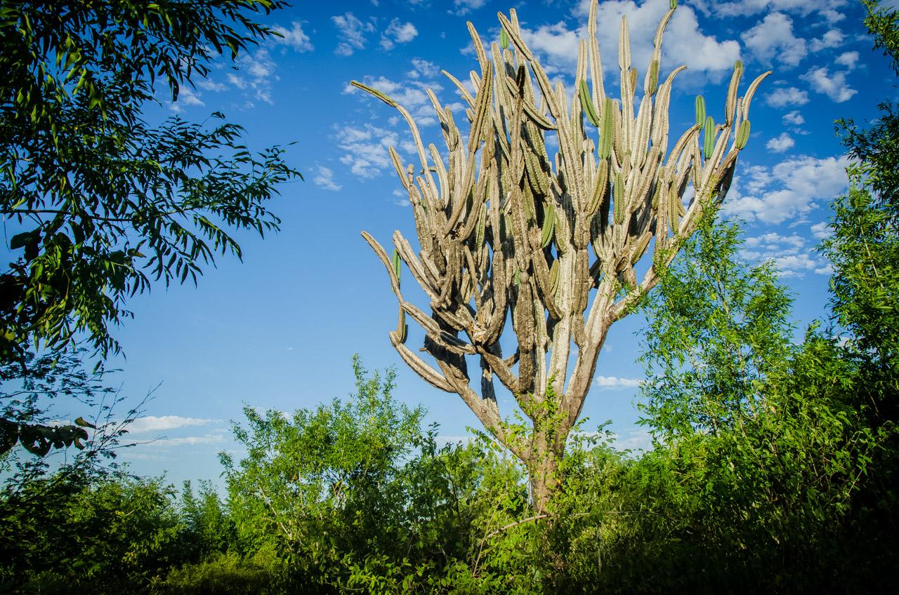 Un alto cactus puede verse en la cima de uno de los montes de Tres Cerros, rumbo a la caverna 14 de Julio. La caverna 14 de Julio forma parte de las 4 cavernas explorables hoy en dia en la región de San Lázaro. (Elton Núñez)