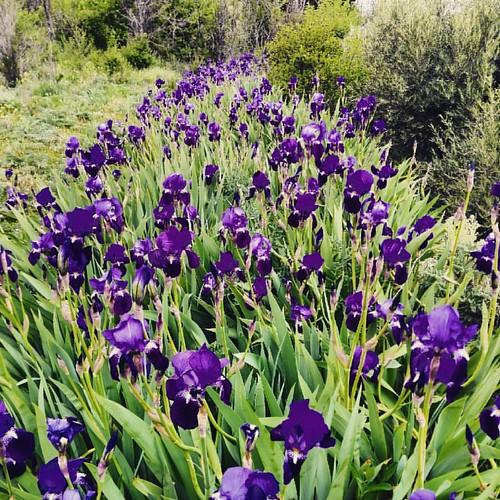 #lilas #primavera ##diadecampo