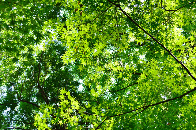 春のモミジ Japanese maple (2)